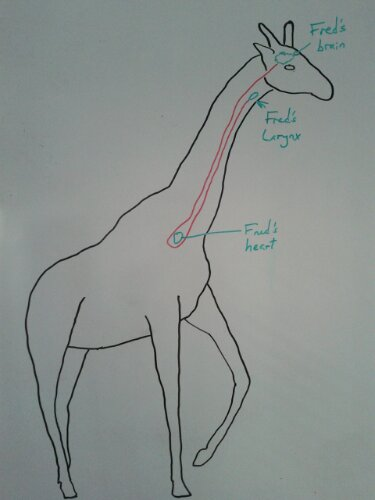 Giraffe laryngeal nerve